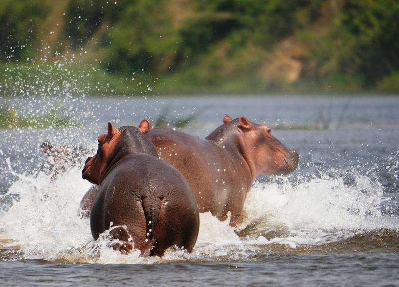 Nijlpaard in Oeganda 3 - Robbertje vechten in de Nijl