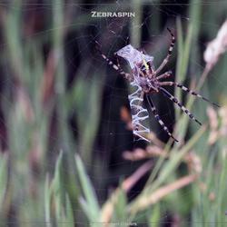 Zebraspin 2