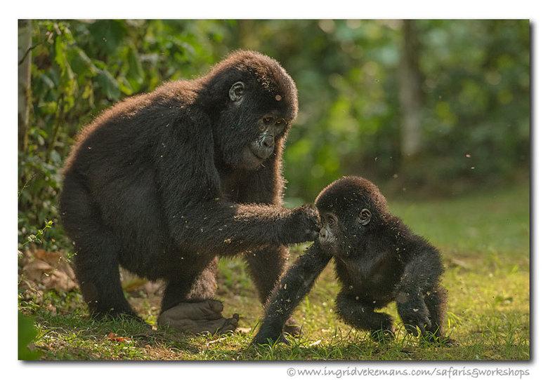 Forest Play - Eén van onze gorillatreks bracht ons bij een familie van een 20-tal leden, waaronder enkele tieners en kleuters. Deze tiener was heel sp