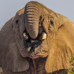 een dorstige olifant in Namibie