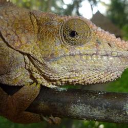 2013 Madagascar kameleon2.JPG
