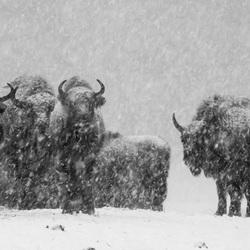 Wisenten in de sneeuw