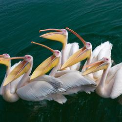 Hongerige pelikanen