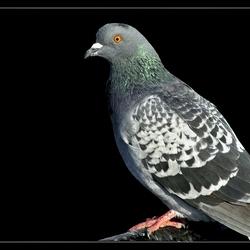 Bewerking: Irisch pigeon