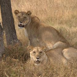 Leeuwen in Serengeti National Park Tanzania