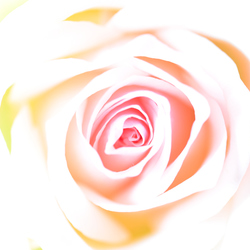 Another Softly Rose!