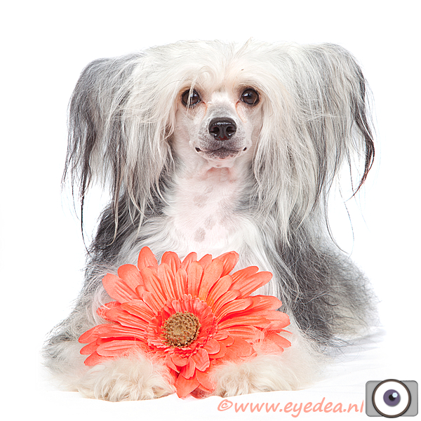Powder Puff - Chinese Crested - Dit is een Powder Puff - oftewel een langharige Chinese Naakthond....