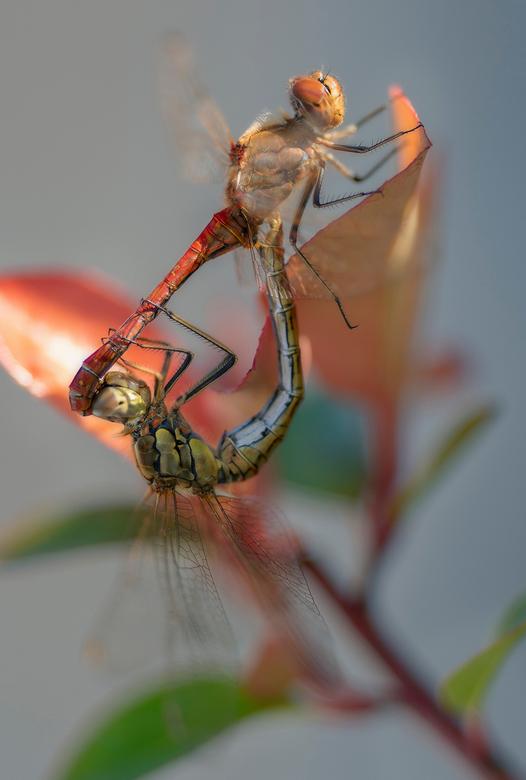 Parende Libellen - De parende libellen vlogen samen als wilde konijnen door de achtertuin. Ze hadden alleen oog voor elkaar en lieten alle tuin aanwez