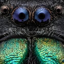 Phidipus Regius Male Portrait (springspinnetje)