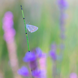 icarusblauwtje tussen de bloemen Zoom