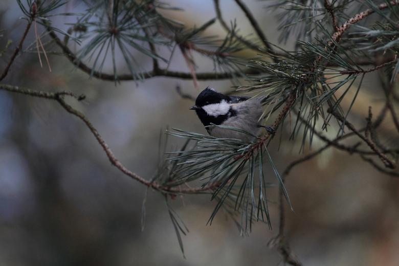 in het bos - Voor het eerst een zwarte mees gezien en gelukkig ook mooi op de foto kunnen zetten.<br /> <br /> even in het groot bekijken <img  src=