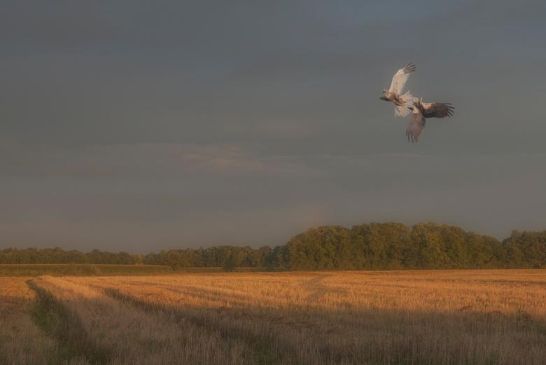 Bruine kieken balts  -