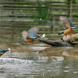 IJSvogel met visje