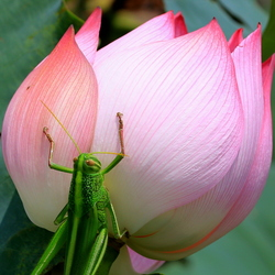 sprinkhaan op lotusbloem