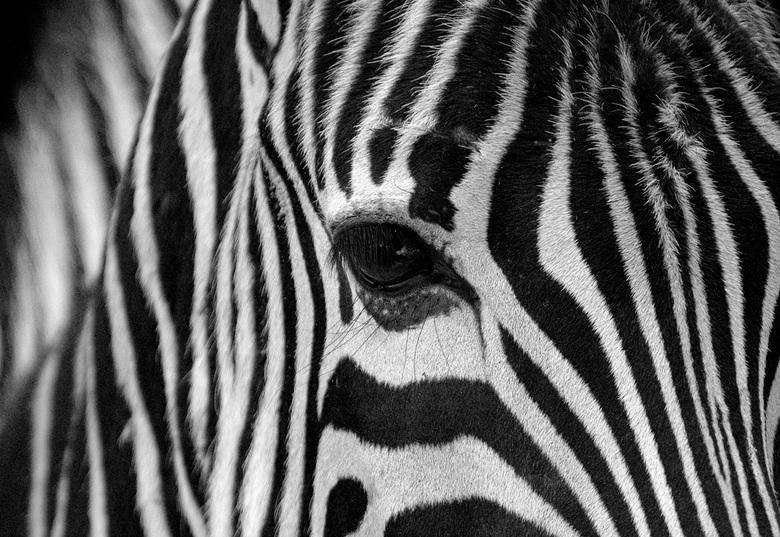 Zebra - Deze foto heb ik gemaakt in BestZOO in 2006.