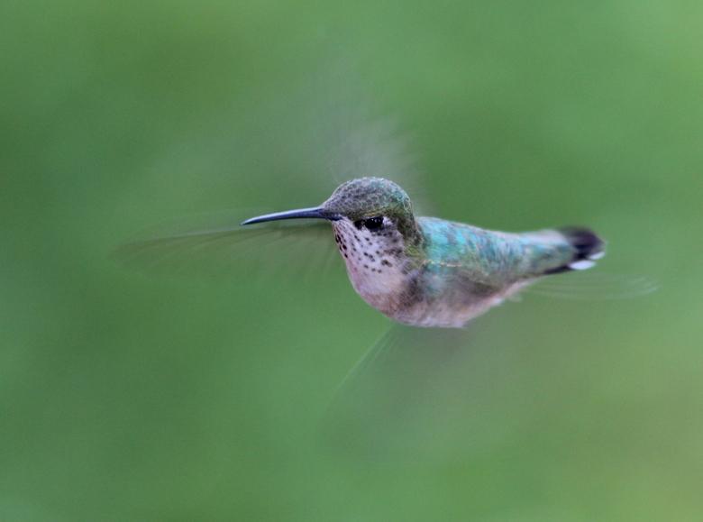 Kolibrie - Een fijne ontmoeting 's morgens met deze kolibrie in Wells Gray Provincial Park, British Columbia, Canada.