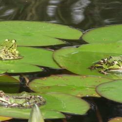 3 Kikkers op waterlelies