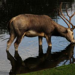 drinking deer