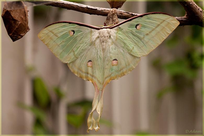 Indiase Maanvlinder - Deze plaats ik omdat ik onder de indruk was van de lichtheid van deze vlinder. Had ze nog nooit gezien, en ook nog niet in mijn