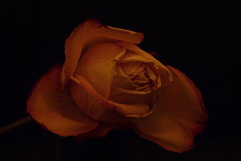 Roos - Weer eens wat nieuws geprobeerd. Deze roos met weinig licht en langere sluitertijd gefotografeerd.