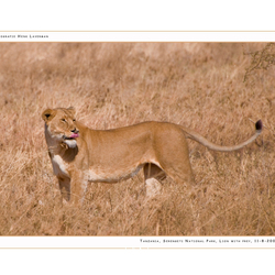 Lion with prey III