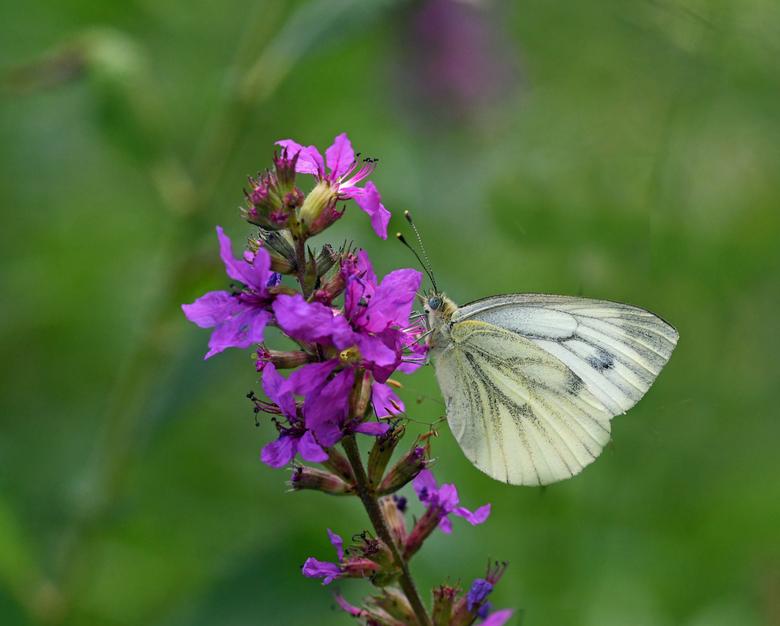 9de plaats - Het klein geaderd witje is in de landelijke  tuinvlindertelling op de 9de plaats geëindigd. Van de ruim 98.000 getelde vlinders waren er