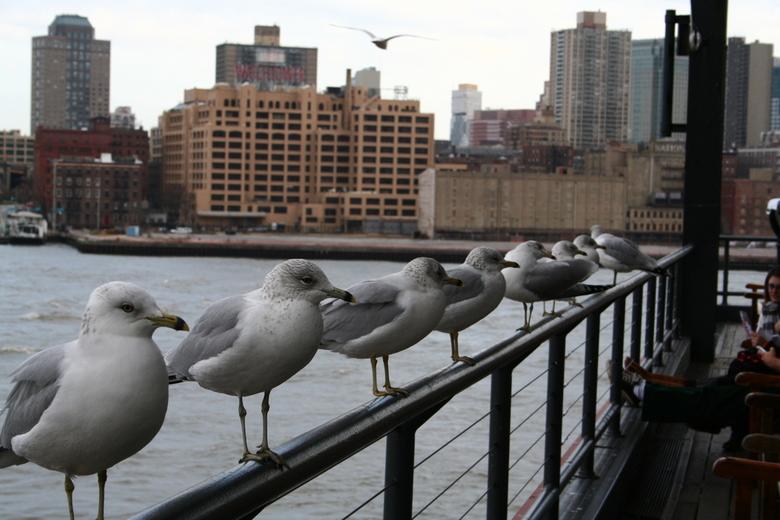 Meeuwen in NY -