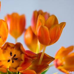 tulpen 4 met Mitakon 85mm f/2.0