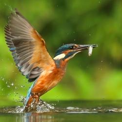 IJsvogel duikt visje op