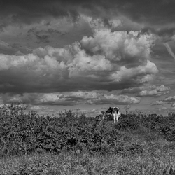 Cow in the pasture