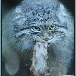 Rat etende Maroel