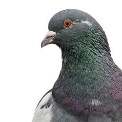Een duif