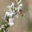 Zweefvliegje op witte lavendel