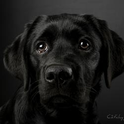 Bridges - Labrador pup