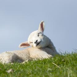 Zonnebadend lam.