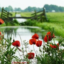 Klaprozen in de polder......