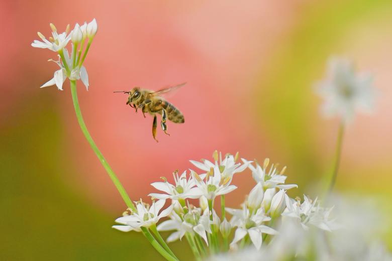 Genieten van de nazomer - Met deze hoge temperatuur zijn de bijen nog actief. Nog even genieten van de nazomer. Foto in de voortuin gemaakt. Camera op