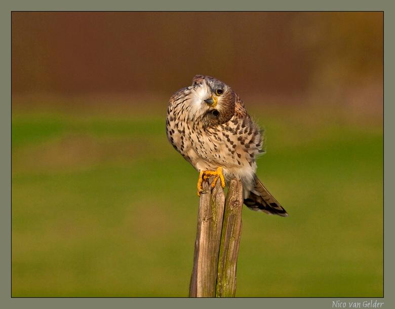 Komische torenvalk - Weer eentje uit mijn torenvalkdoos. Ik ben heel lang bezig geweest met deze fascinerende vogel te volgen en te fotograferen. Je k