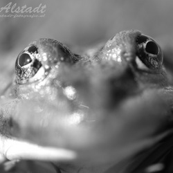 Frontal frog