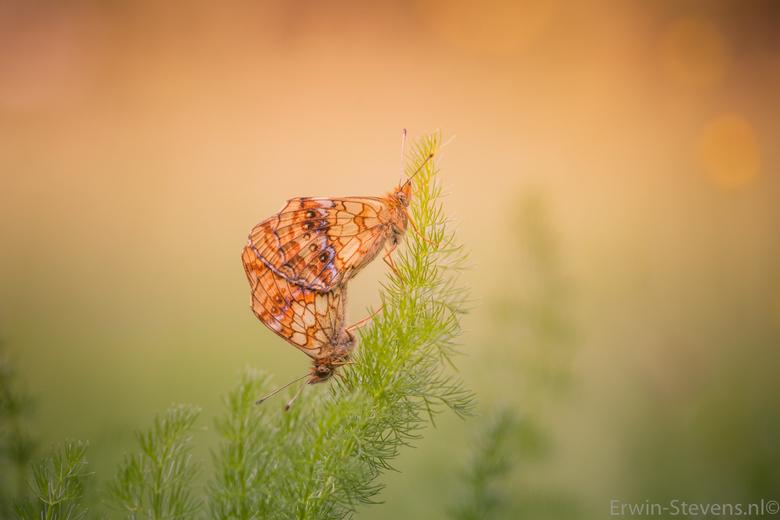 Parende Purperstreepparelmoervlinders - Hierbij een setje Purperstreepparelmoervlinders, met heel af en toe een zonnetje in de achtergrond , Ze zaten