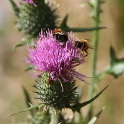 Distel met bijtjes