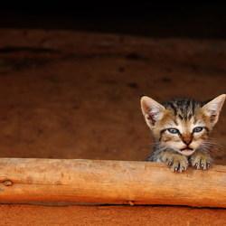 Cuban kitten