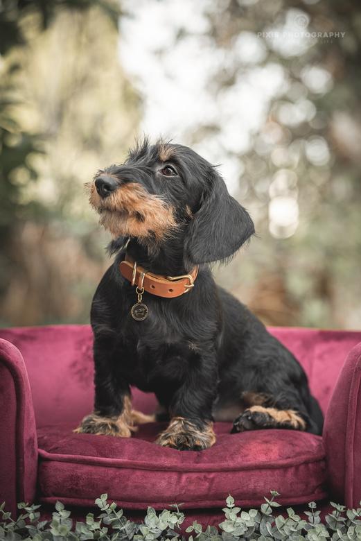 Willow, ruwharige teckelpup - Productfotografie voor het merk Charming Couture, met echte hondenmodelletjes!