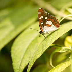 IJsvogelvlinder passieflorahoeve