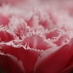 Roze met wit