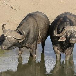 Buffels in Kruger