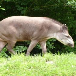 Midden amerikaanse tapir