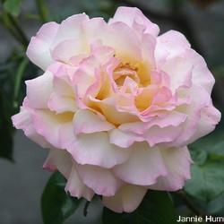 De schoonheid van een Roos