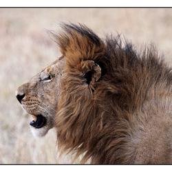 Leeuwenportret