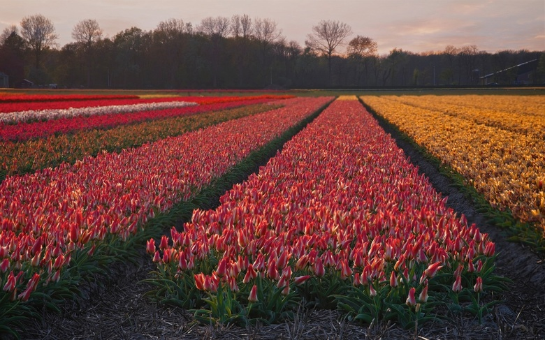 Pink-yellow-tulips - I made this picture this spring, 2018. April is the month of the Dutch national pride, the flowers. The colours have been saturat